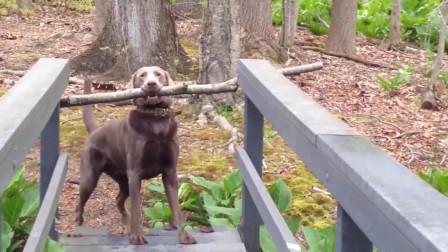 狗狗想把树枝叼回家, 可过不了桥, 最后狗狗机智想出一计