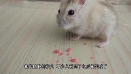 主人把跳跳糖喂仓鼠吃, 它的反应让人笑喷, 仓鼠: 是虫子在咬我吗