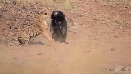 黑熊大战老虎, 谁能更胜一筹? 镜头拍下全过程