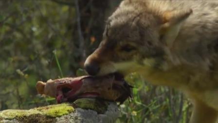 小男孩被困丛林,野狼救人送来生肉!男孩感恩狼群,动物太善良!