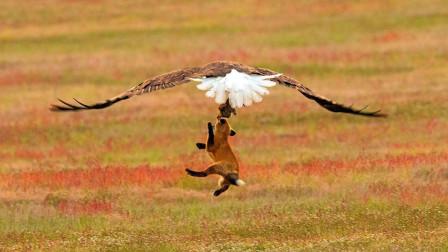 凶猛老鹰狐嘴夺兔, 直接把狐狸吊到半空, 场面惊险又刺激