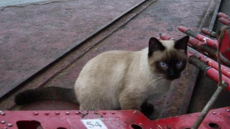 为什么大型军舰或航母上都会养上一只猫? 原来猫在上面的作用这么大呢!