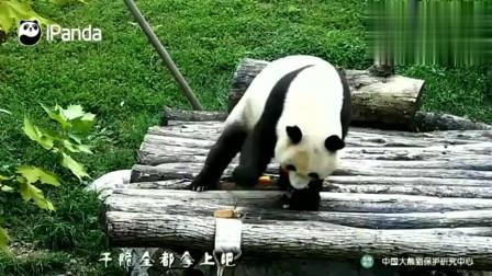 吃货才是熊猫的本性, 食域可不是竹笋那么简单, 还喜欢吃这种东西
