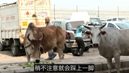 印度人最尊敬的动物, 如今泛滥成灾要出口中国, 中国吃货: 不敢吃