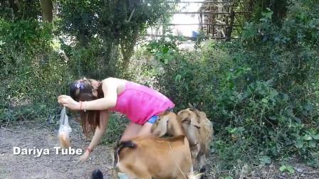 美女给山羊喂食, 羊儿太心急, 跳起来抢食
