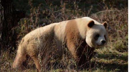 为什么狮子老虎不攻击大熊猫? 熊猫的另一个名字, 恐怕你没听说过