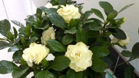 冬季养栀子花, 2个小技巧, 不黄叶不掉叶, 叶片绿油油花苞多