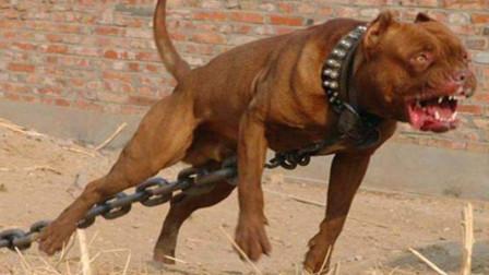 """世界第一""""猛犬"""", 3分钟能咬死200斤的高加索, 专家: 最好不养!"""