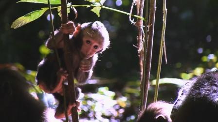 对于眼镜猴来说,单身汉的日子不好过,每天居无定所过着流浪生活