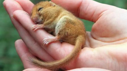 这老鼠只能活五年, 四年都在睡觉还会被饿死, 真不可思议