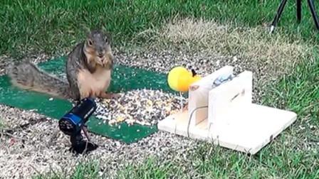 主人整蛊贪吃松鼠,结果松鼠宁愿挨揍也要吃,果真是资深吃货