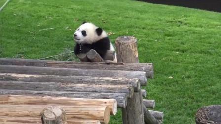 吃货妈妈啃竹子, 熊猫宝宝在一旁自娱自乐