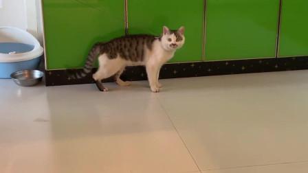 每天吃饱喝足就开始走太空步的猫咪,这是要成精了吗?