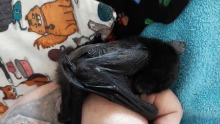 """奇葩年年有,今年特别多,外国小姐姐养蝙蝠当宠物,网友:""""吓人"""""""