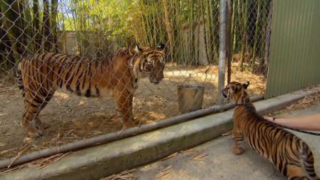 小老虎第一次看到笼子里的妈妈,老虎一下就认出孩子了,令人感动