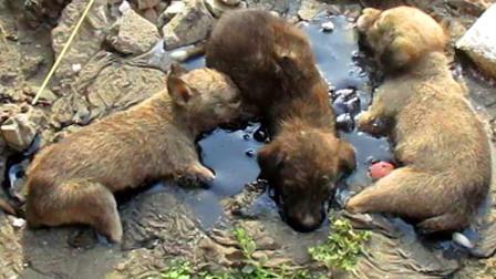 三只小奶狗陷进沥青中,已经奄奄一息,救援人员都落下眼泪