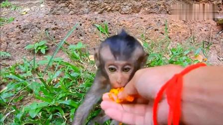 一只残疾的小猴子好可怜,只能靠好心人施舍食物!