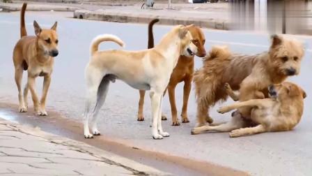 不拴狗绳的田园犬在路边嬉戏打闹,公交车差一点就撞到其中两只