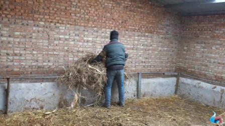 张家口农村大哥养牛养羊,一天两次的拉草成了主要生活,辛苦并快乐着视频