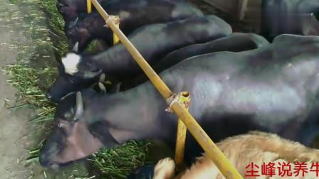一个农村养殖户的牛场,水牛黄牛养得非常好,饲料却很简单视频