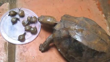 小伙喂乌龟吃蜗牛,让人意外的画面出现了,镜头记录全过程