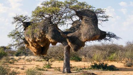 """非洲草原上的""""基建狂魔"""",一座鸟巢重量达1吨,能住500只鸟!"""