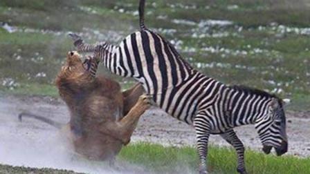 斑马大战狮子,狮子受伤不轻,一时难分胜负!