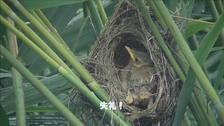 芦苇丛里有一窝大苇莺,小鸟长得如何了?一起去看看