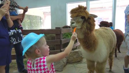 萌娃小可爱最喜欢小动物了!—萌娃:这只羊驼真是萌萌哒!