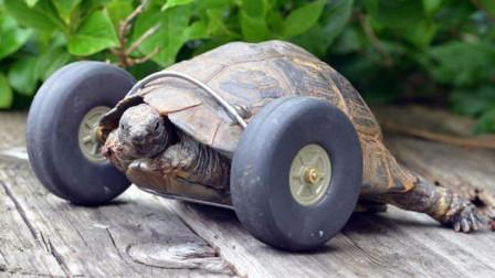 乌龟装上轮子后,行动非常迅速,跑的比以前快多了