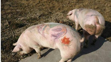 猪身上最脏的三个器官,有大量寄生虫,很多人不清楚,还将它当美食