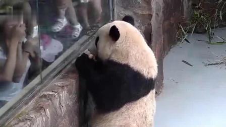 大熊猫向游客炫耀苹果,结果便宜了一旁的吃货,熊猫:气死宝宝了