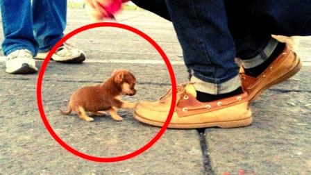 这种狗狗被称为世界最小的狗狗,虽然长的极好看,但极难养活!