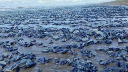 澳洲又有一种动物泛滥成灾,求助中国吃货,网友表示:不敢吃