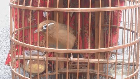 这只画眉鸟养得不错,叫声真好听!