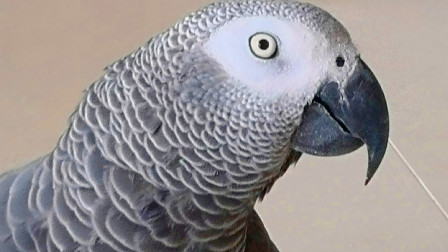 这只灰鹦鹉太有艺术天分了!趁主人不在家,自己在家忘我的表演!太好笑!