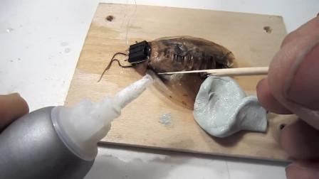 小哥脑洞大开给蟑螂装上高科技,直接控制蟑螂行动,镜头记录过程