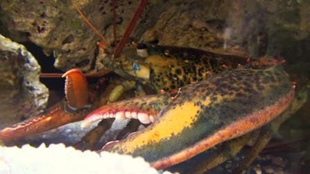 世界最大龙虾,身长1米多重20公斤,应该够吃货吃上一星期了!