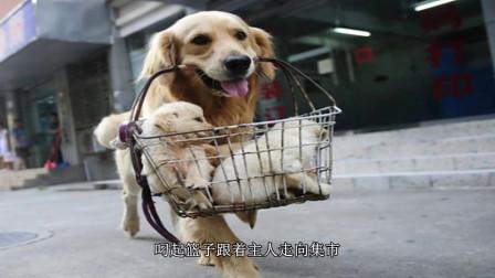 金毛的孩子即将要被主人卖掉,最后自己亲自叼着篮子上集市,希望帮孩子选一个好主人!