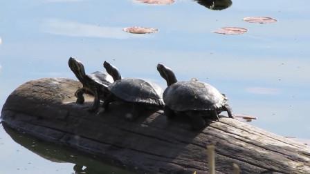 令中国吃货头疼的红耳龟,每年新增五千万,网友:不会再嘴下留情