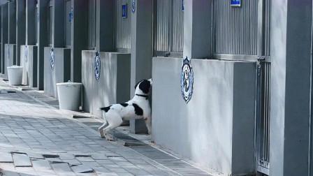 警花与警犬:吃货大饼连饭都不吃,在樱桃房前等着它回来