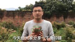 """多肉植物""""唐印锦"""",自然生长变异的""""稀有品种"""",懂得简单养护视频"""
