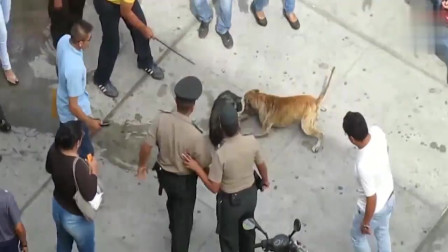 这只中华田园犬太凶猛了,和比特犬有一拼,没有人能阻止它