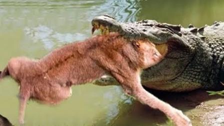 小狮子独自过河,却不知鳄鱼早已等候多时,镜头拍下绝望过程