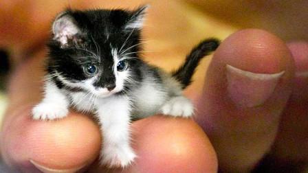 科普一下!世界上最小的4只猫