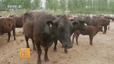 农村大叔养殖特别的牛,竟要十年才能长成,这是什么品种?视频