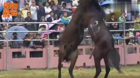 两只公马为了一匹母马,打的你死我活,场面激烈引万人观战