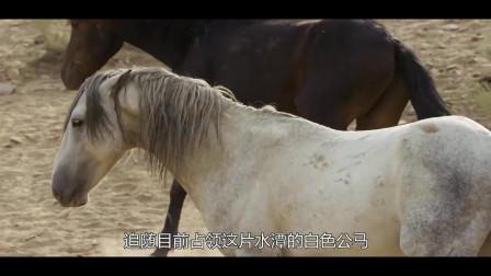 篡位的黑马成为新水源的霸主 赢得与母马群的交配权力