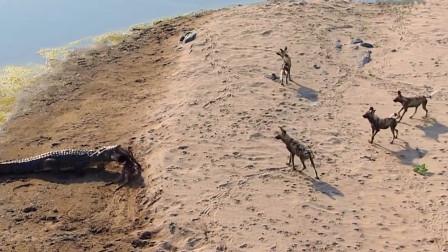 野狗在岸边享用美食,鳄鱼从水中跳出,意想不到的画面被镜头拍下