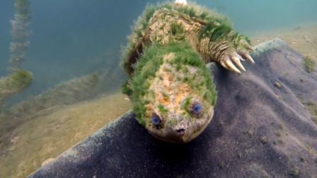 老外潜水时发现一只奇异的乌龟,仔细观察后,发现大有来头